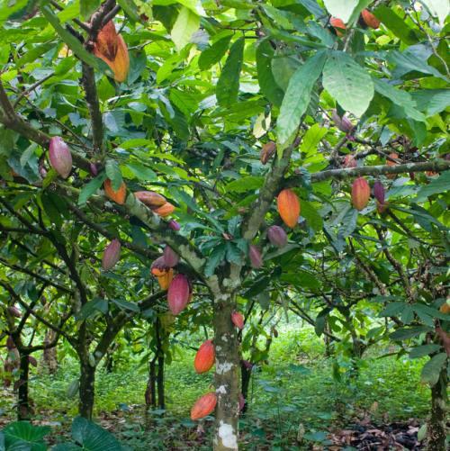 Arbore de cacao cu fructe