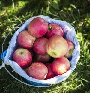 galeata cu mere