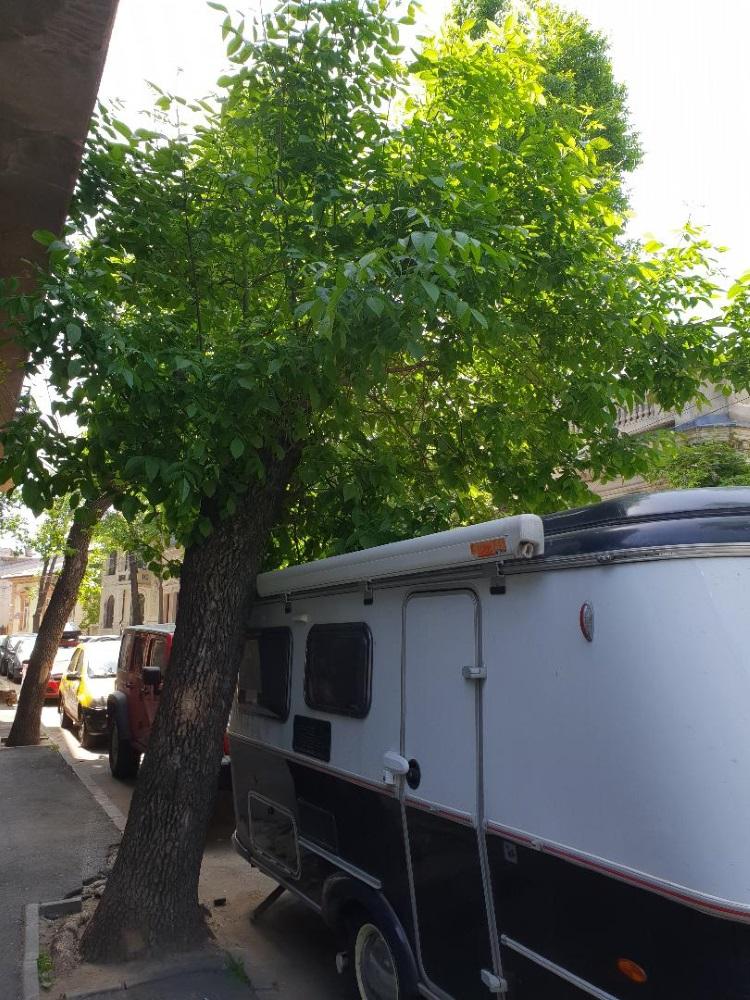 Dana Rogoz a fost luată peste picior de funcționarii primăriei din cauza unui copac