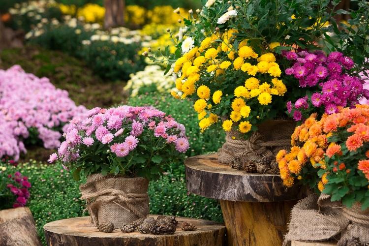Poze cu flori de toamnă - crizanteme