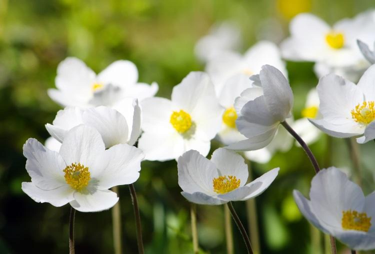 imagini cu flori de toamna anemona