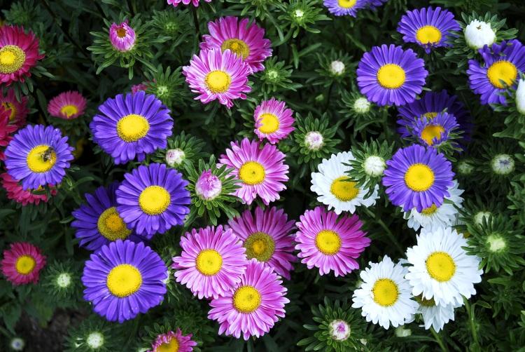 imagini cu flori de toamna, ochiul boului