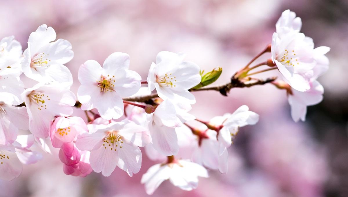 Fenomen rar în Japonia! Florile de cireș au înflorit în mijlocul lunii octombrie